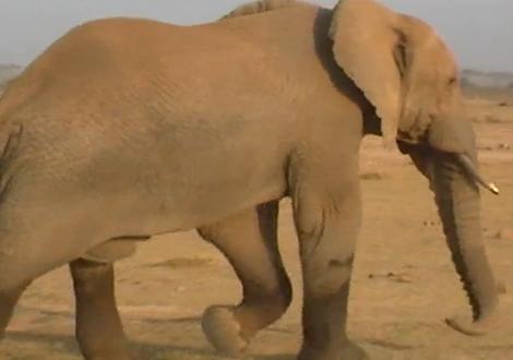 Tembo, el elefantito huérfano